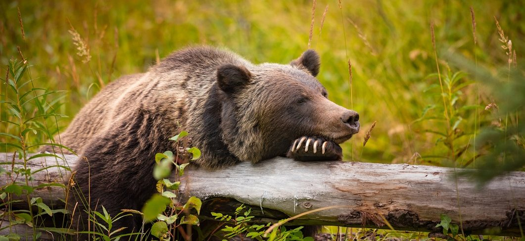 Grizzly bear in Banff National Park.