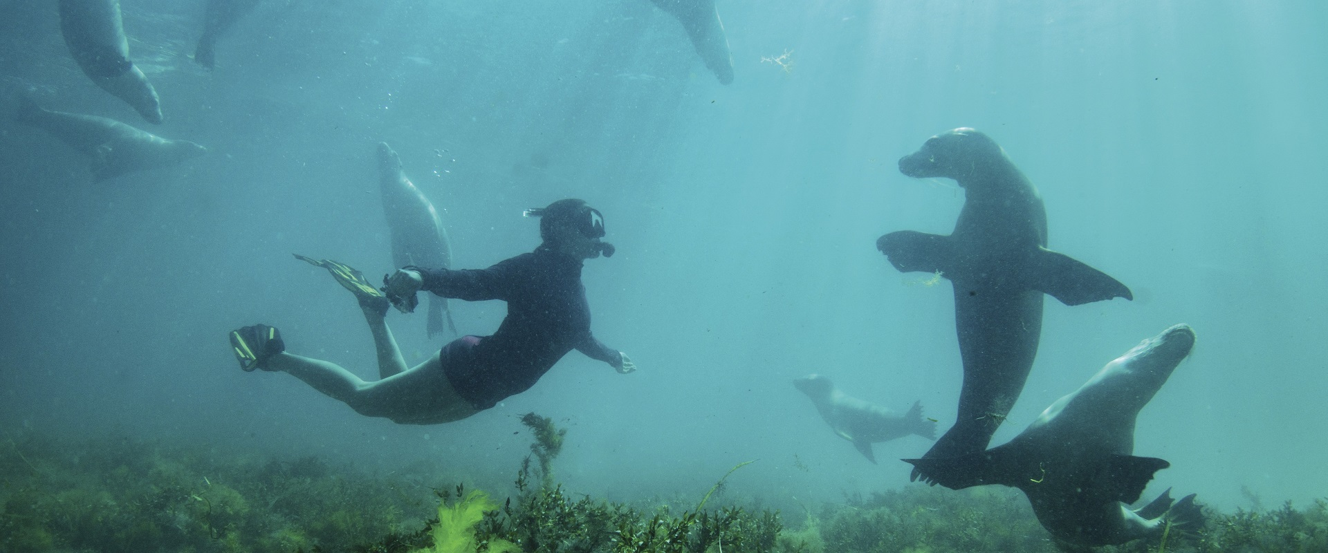 Sea lion swimming with Adventure Bay Charters, Eyre Peninsula.